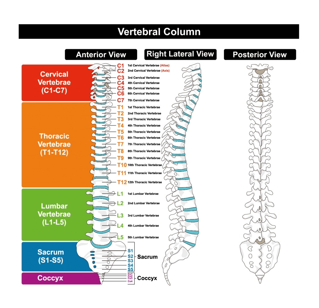 Δομή της σπονδυλικής στήλης