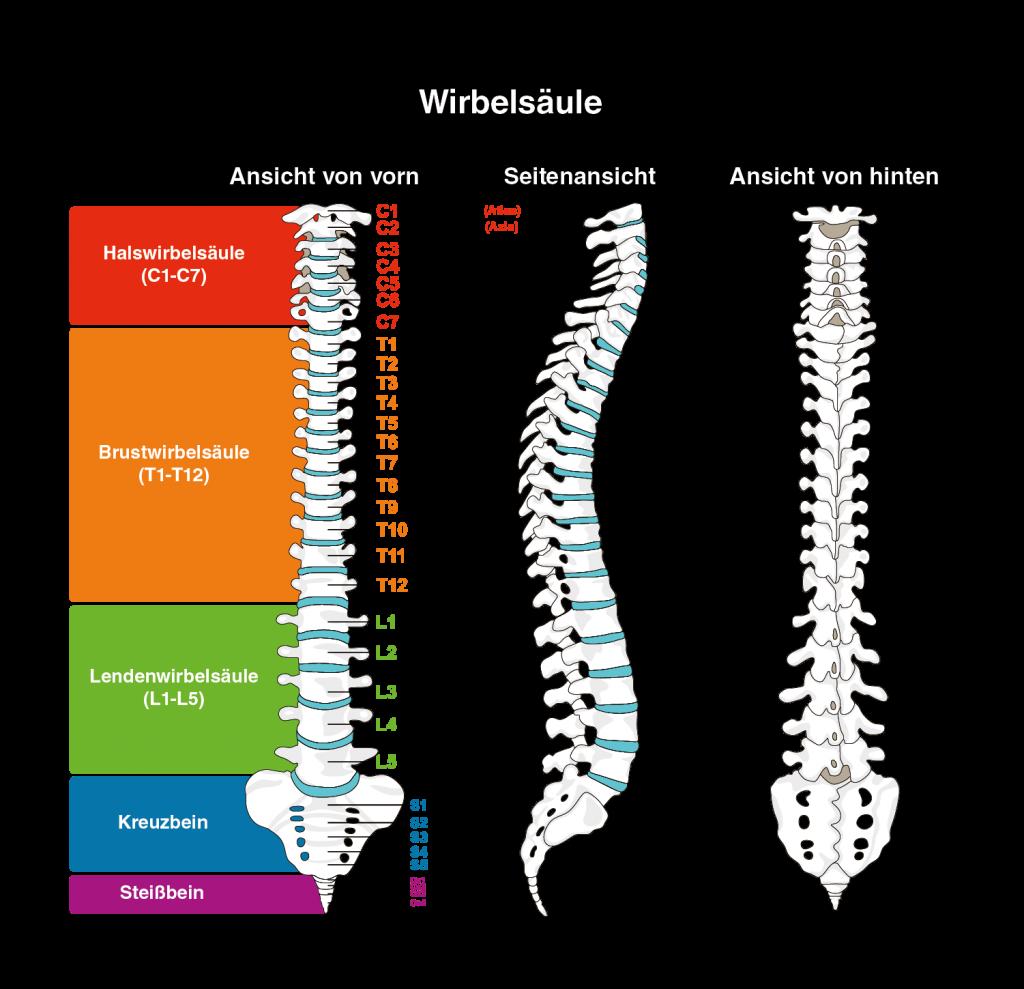 Groß Wirbelsäule T1 Bilder - Anatomie Von Menschlichen Körperbildern ...