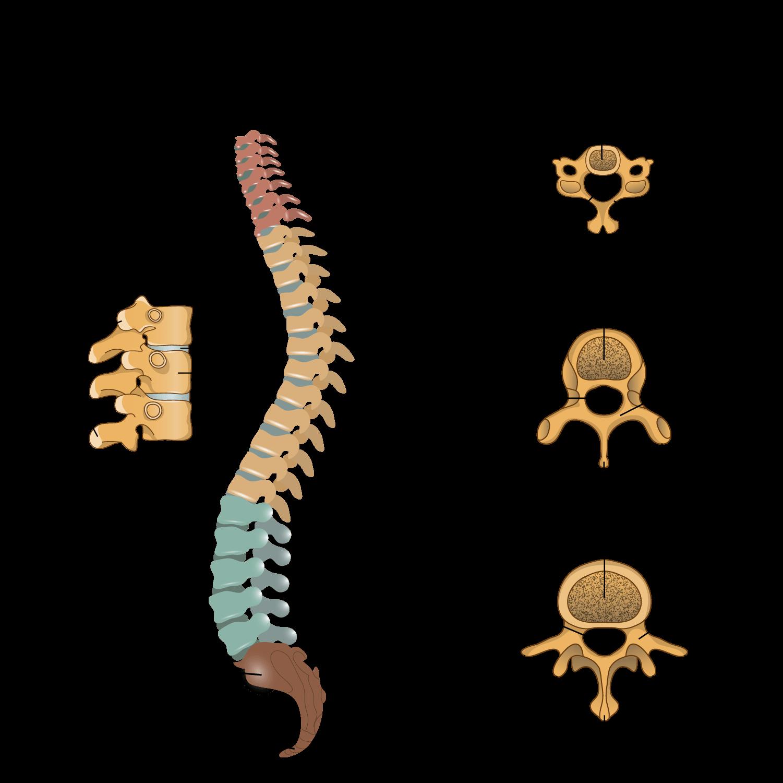 Ziemlich Wirbel Knochen Ideen - Anatomie Und Physiologie Knochen ...