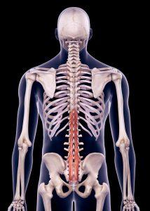 Rückenmuskeln im Lendenwirbelbereich